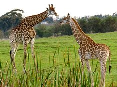 Spot Giraffe and many more of the resident antelope from the cottages at Wild Clover. #WildClover