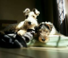 Wire Hair Fox Terriers- nicely lit photograph.