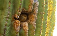 An Elf owl (Micrathene whitneyi) in its nest. Many types of owls like to nest in abandoned holes in the saguaro cactus, often holes made by the Gila woodpecker. The holes do not harm the saguaro. Names Of Birds, All Birds, Owl Habitat, Elf Owl, Small Owl, Owl Photos, An Elf, Owl Art, Nature Animals