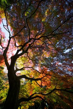 Autumn flame (Photo by by Tsuguharu Hosoya) This is beautiful. Imagine lying under this tree looking up at the sky/colors. All Nature, Amazing Nature, Science Nature, It's Amazing, Awesome, Nature Music, Foto Picture, Nice Picture, Tree Forest