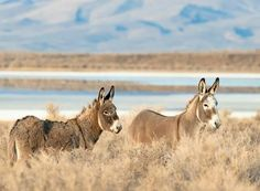 2014 is the Year of the Horse, but we promise to keep fighting for the burros too! Photo of burros in BLM's Calico Complex in NV by Mike Lorden. Farm Animals, Animals And Pets, Cute Animals, Burritos, Beautiful Horses, Animals Beautiful, Cute Donkey, Miniature Donkey, Year Of The Horse
