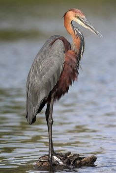 Ardea goliath (Goliath Heron) at Lake Panic near Skukuza rest camp Kruger National Park, South Afric