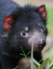 Tasmanian Devil, Healesville Sactuary  #wildlife #daytour