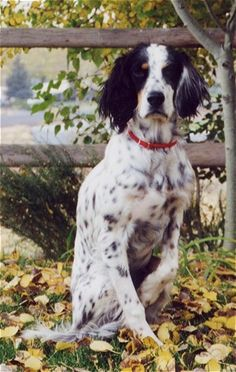 Llewellin Setter.  Looks a lot like my Pepper girl.  Gorgeous