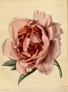 Rose Clipart Vintage Rose Rose PNG by BlossomVintageStock on Etsy by blossompaperart Botany Illustration, Antique Illustration, Rose Clipart, Flower Clipart, Botanical Wall Art, Botanical Prints, Image Transparent, Shapes Images, Rose Art