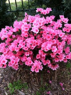 Evergreens For Shade, Evergreen Shrubs, Flowering Shrubs, Shade Evergreen, Azalea Shrub, Bonsai Azalea, Fall Flowers, Pink Flowers, Dwarf Azaleas