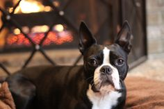 A dog laying down by the fireplace. Delilah the Boston Terrier from Lake Orion, MI, USA. www.bterrier.com