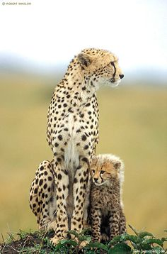 Did you know Cheetahs are the only big cat that cannot roar. The can purr though and usually purr most loudly when they are grooming or sitting near other cheetahs. While lions and leopards usually do their hunting at night, cheetahs hunt for food during the day.