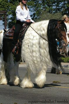 Gypsy and Clydesdale mix. What a beauty! …