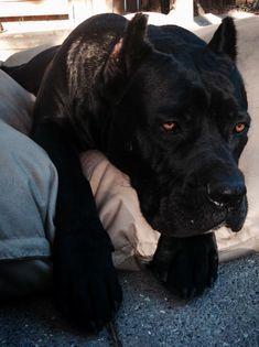 Black Pearl Cane Corso Breeders Are Devoted To Produce Cane Crosos With Great Health Temperament And Looks Debun In 2020 Cane Corso Black Dogs Breeds Black Cane Corso