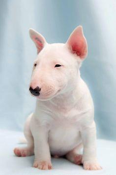 bullie puppies! Miniature Bull Terrier, Bull Terrier Dog, Terrier Puppies, Mini Bull Terriers, English Bull Terrier Puppy, White Bull Terrier, Terrier Breeds, Beautiful Dogs, Animals Beautiful