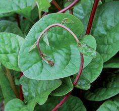 Red Malabar Spinach Seeds - Heat Loving climbing vine high in vitamin A and C.                 Garden 2014