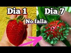 CIENTOS de plantas de FRESA en 7 Días! Germinar fresas de supermercado (Plantar y sembrar frutillas) - YouTube Desert Rose Plant, Earth Day, Seeds, Strawberry, Flowers, Food, Youtube, Gardening, Instagram