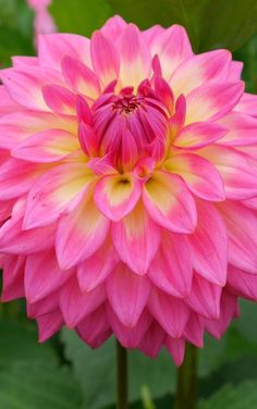 Bloomquist Parasol Dahlia ~ a vibrant showy Pink and Yellow with - blooms, informal decorative K Connell Dahlias Exotic Flowers, Amazing Flowers, My Flower, Pink Flowers, Beautiful Flowers, Zinnias, Dahlias, Anemones, Flower Seeds