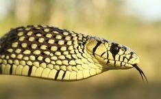 caninana - A caninana é uma serpente não peçonhenta muito agressiva. Quando se sente ameaçada, infla o pescoço, arma o bote e prepara-se para atacar. Alimenta-se de roedores e pequenas aves, o que lhe rendeu seu outro nome: papa-pinto