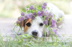 Jack Russell Terrier under Flower Hoodie by Heavenly Pet Photography I Love Dogs, Cute Dogs, Jack Russells, Purple Garden, Dog Wedding, Jack Russell Terrier, Dog Photos, Dog Art, Animal Photography