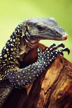 It's a handsome tree monitor. Les Reptiles, Reptiles And Amphibians, Mammals, Lizard Dragon, Komodo Dragon, Lizard Cake, Monitor Lizard, Alligators, Beautiful Creatures