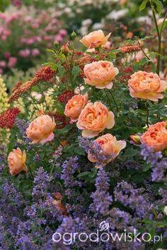 Ogród - Brzóstowa - strona 23 - Forum ogrodnicze - Ogrodowisko
