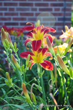 Love Day Lillys and their names! Hemerocallis 'Red-Headed Hussy'