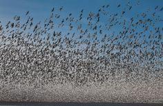 One million snow goose migration, Squaw Creek National Wildlife Refuge. by PAUL BELLINGERSR