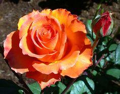 Gingersnap - Floribunda, orange blend, 30-35 petals, 1977, rated 7.3 (good) by ARS.