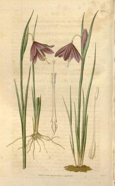 v.63=ser.2:v.10 (1836) [no.3458-3541] - Curtis's botanical magazine. - Biodiversity Heritage Library