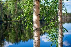 Rantakoivut - koivu iltavalo koivikko heijastus vesi runko rungot  puu metsä rantametsä ranta  koivunlehdet vedenpinta peilikuva kesä rantametsikkö Eno
