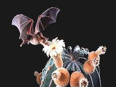 nectar bat