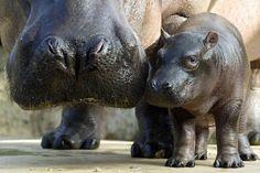 La théorie du tout: Le langage des hippos est similaire à celui des da...