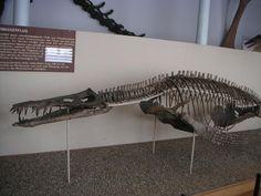 Liopleurodon ferox Skelett