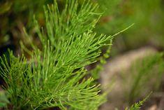 Skrzyp polny jest jedną z roślin zawierającą ogromne ilości krzemionki, selenu i cynku. Świetny w walce z obrzękami,wspomaga mineralizację kości w tym zębów Polish Recipes, Healing Herbs, Weed, Drugs, Herbalism, Stuffed Mushrooms, Remedies, Spices, Hair Beauty