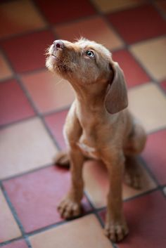 I had no idea there was a Wirehaired Vizla! :D