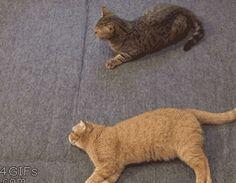 Lazy Cat Trying To Help .... jajajajaja la ley del mínimo esfuerzo jajajajaja