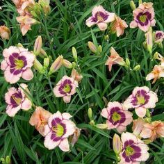 OnlinePlantCenter 1 gal. Daring Deception Daylily Plant-H4175G1 - The Home Depot