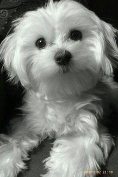 Maltese Dog Princess Pup,just like mine Cute Puppies, Cute Dogs, Dogs And Puppies, Doggies, Puppies Gif, Animals And Pets, Cute Animals, Baby Animals, Baby Cats