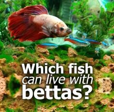 How long do betta fish live can you extend betta fish for How long can a betta fish live