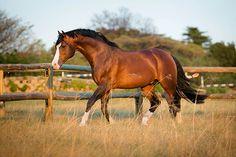 Lissabon Oldenburg Stallion | Callaho Warm Blood Sport Horses
