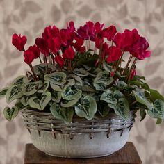 Horticulture, White Flower Farm, Pot Plante, Dish Garden, Metal Bowl, Deco Floral, Plantation, Poinsettia, Houseplants