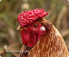 Arsenic being intentionally added to conventional chicken http://www.naturalnews.com/040556_arsenic_chicken_feed_contamination.html #KnowledgeIsPower! #AwesomeTeam♥☮