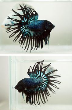 Crowntail Betta Auctions - Sun May 24 2020 Pretty Fish, Beautiful Fish, Betta Aquarium, Fish Aquariums, Betta Fish Tank, Fish Tanks, Betta Fish Types, Water Animals, Animals Sea