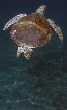 The loggerhead turtle is found around the globe, inhabiting continental shelves, bays, estuaries and lagoons in temperate, subtropical and tropical water