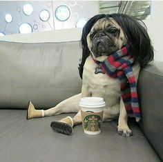 Wig wearing pug is feeling quite smug. Not every pug has the boots they call Ugg! Cute Pugs, Cute Funny Animals, Cute Baby Animals, Funny Dog Memes, Funny Dogs, Pugs And Kisses, Pug Love, Funny Animal Pictures, Random Pictures