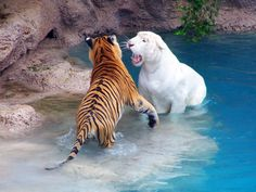 White Tiger with Bengal Tiger! #tigers #tigerlovers #animallovers #tigerfans