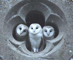 trio d'effraie