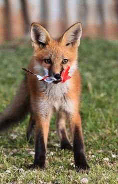 Fox kit with a candy wrapper