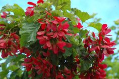 'Hot Wings' Tatarian Maple- samaras (seed pods) are bright red instead of brown giving the tree the appearance of blooming. Very drought resistant. Comes in a clump form or single trunk- I prefer the clump. New Tree from Plant Select. Amur Maple, Maple Tree, Deciduous Trees, Trees And Shrubs, Trees To Plant, Tree Planting, Flowering Trees, Town And Country Gardens, Gardens