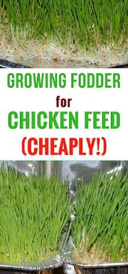 Growing fodder for chicken feed (cheaply) Growing fodder cheaply. Fodder is a great supplement for c Portable Chicken Coop, Backyard Chicken Coops, Chicken Coop Plans, Building A Chicken Coop, Diy Chicken Coop, Backyard Farming, Chickens Backyard, Chicken Coup, Chicken Feeders