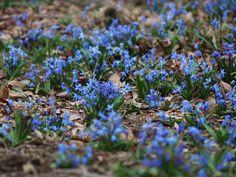 【2015年4月上旬】 シラーシビリカブルーが満開です!爽やかな青の花がとっても素敵^^