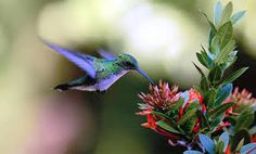 Resultado de imagen para colibri Birds, Wallpaper, Pictures, Animals, Photos, Animales, Animaux, Bird, Photo Illustration