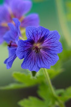 Geranium 'Alan Mayes' The intensity of this blue is amazing. Cranesbill Geranium, Hardy Geranium, Colorful Flowers, Blue Flowers, Beautiful Gardens, Beautiful Flowers, Burford Garden Company, Hardy Perennials, Pink Garden